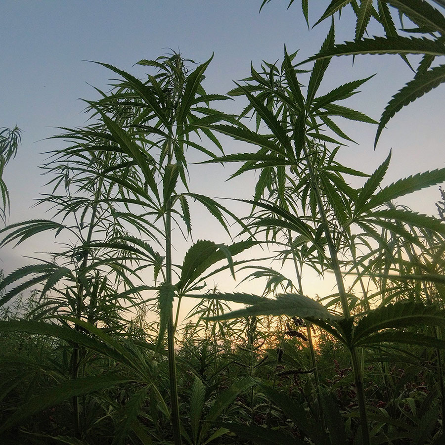 Hemp and Cannabis growing in field
